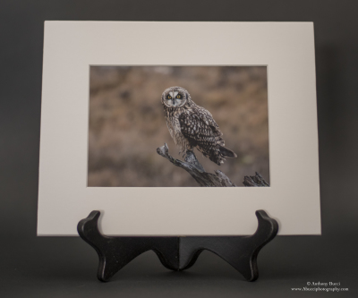 Short-eared Owl perched 5x7 Matted Print