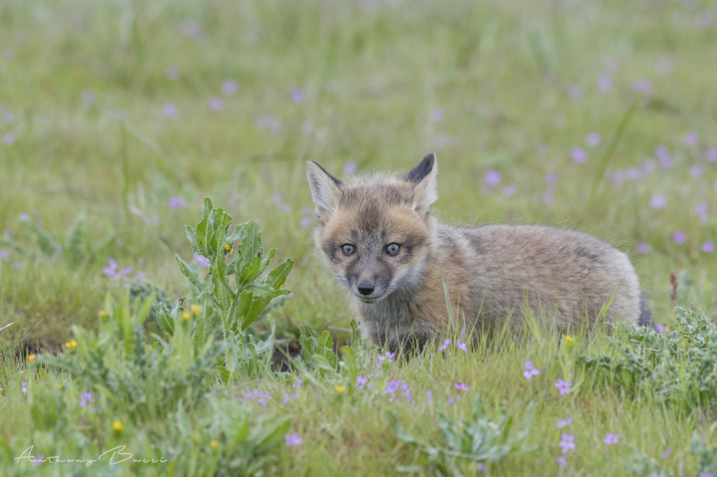 Red fox kit 2018