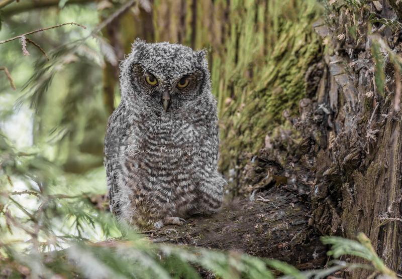 Western Screech Owl fledgling