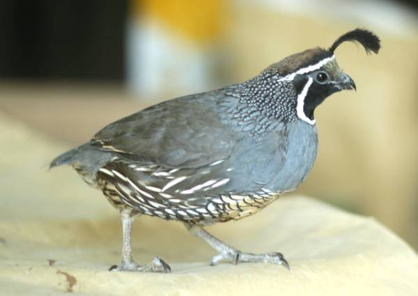 Male California quail