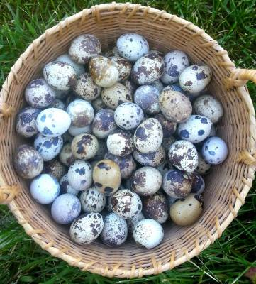 Quail Eggs for Sale