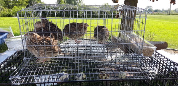 Quail in cages