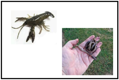 Crayfish & Earth Worms