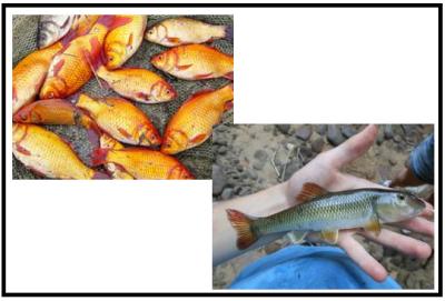 Chubs & Goldfish