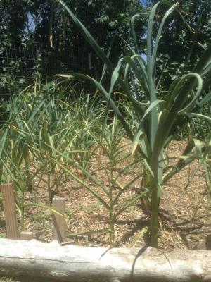 Garlic grown Oct 2014-July 2015