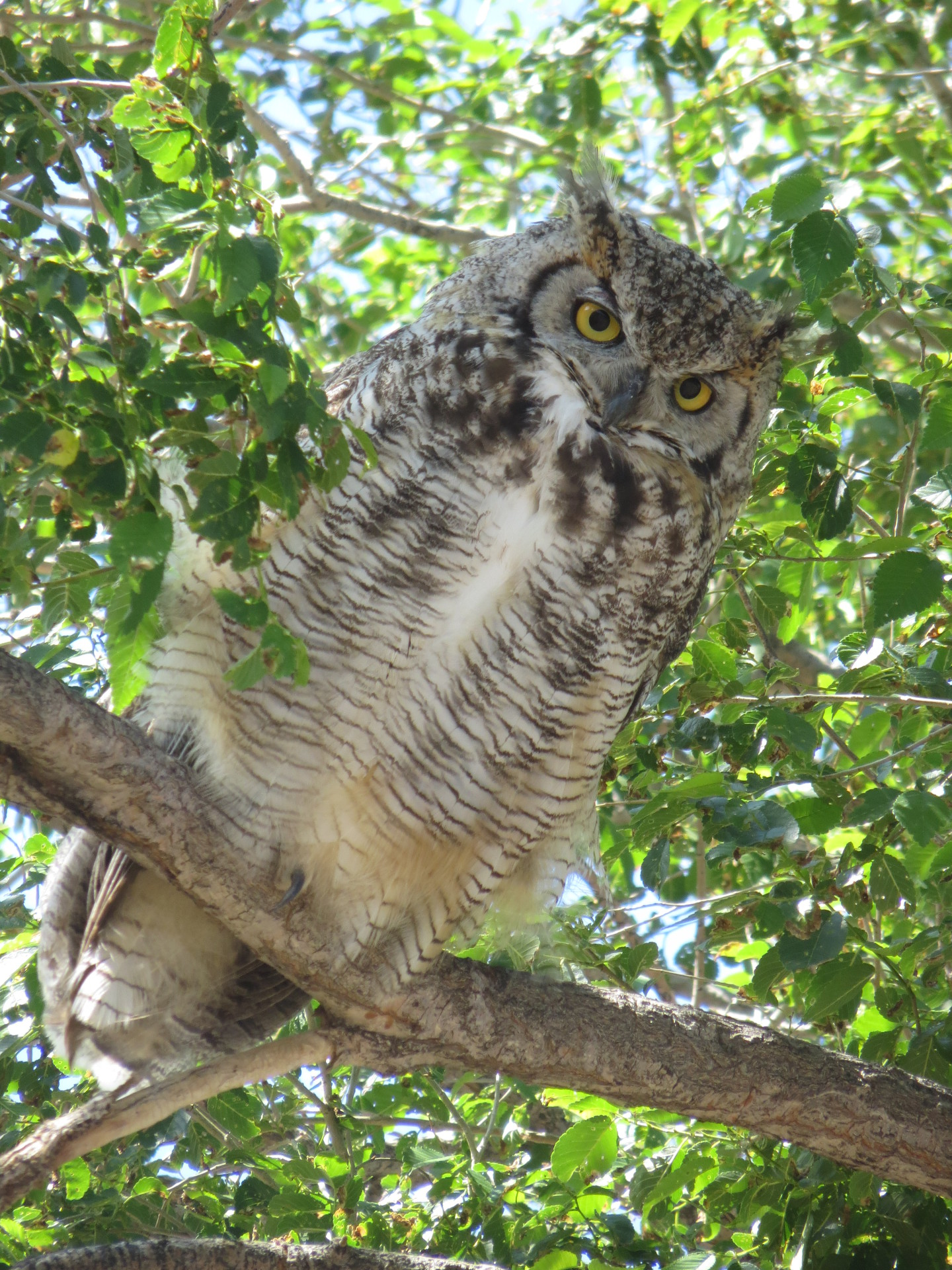 Great horned Mama owl in tree.