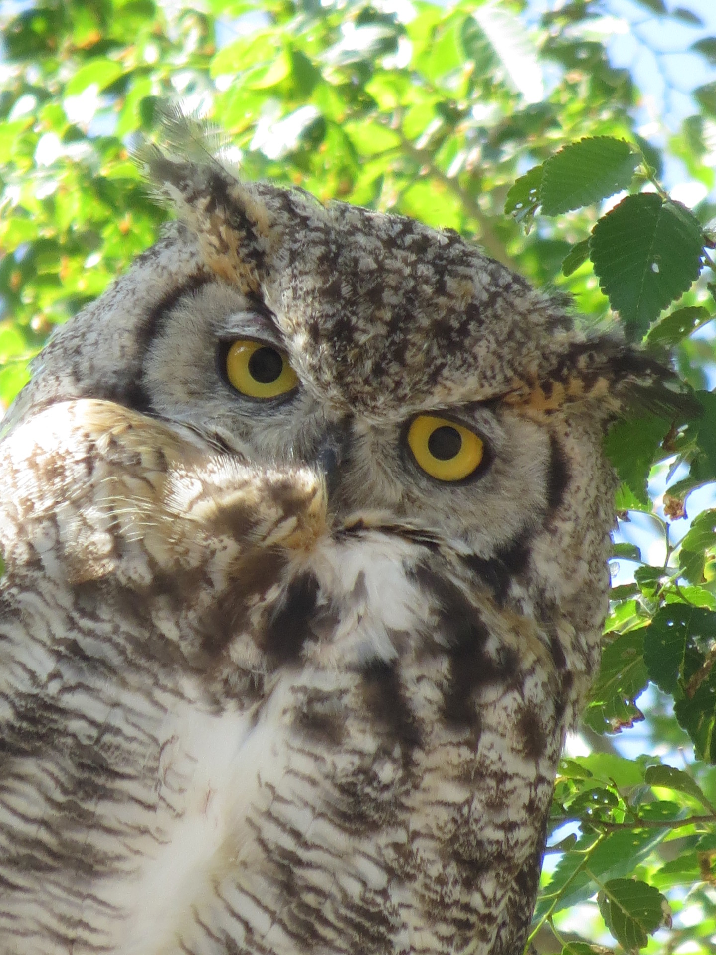 Great Horned Owls Nest in our Trees