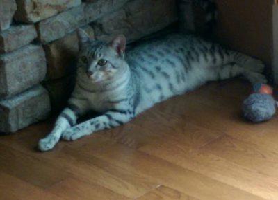 Egyptian Mau Kittens For Sale Arkansas