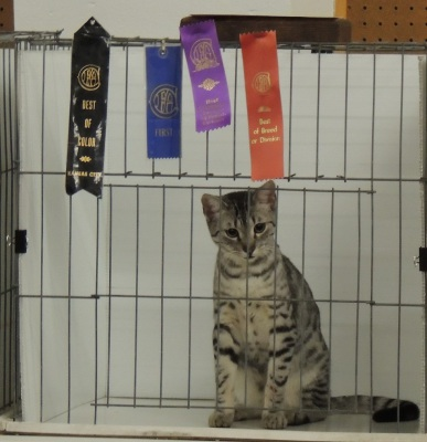 Silver Spotted Egyptian Mau CFA Champion Arkansas
