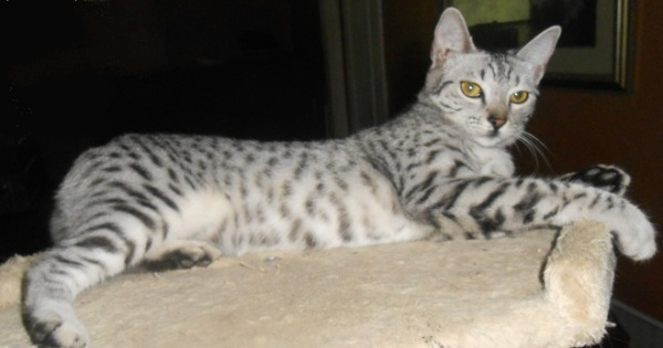 Silver Spotted Egyptian Mau Queen Kittens Available