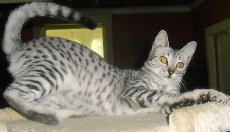 Excellent Mother Has Beautiful Silver Egyptian Mau Kittens