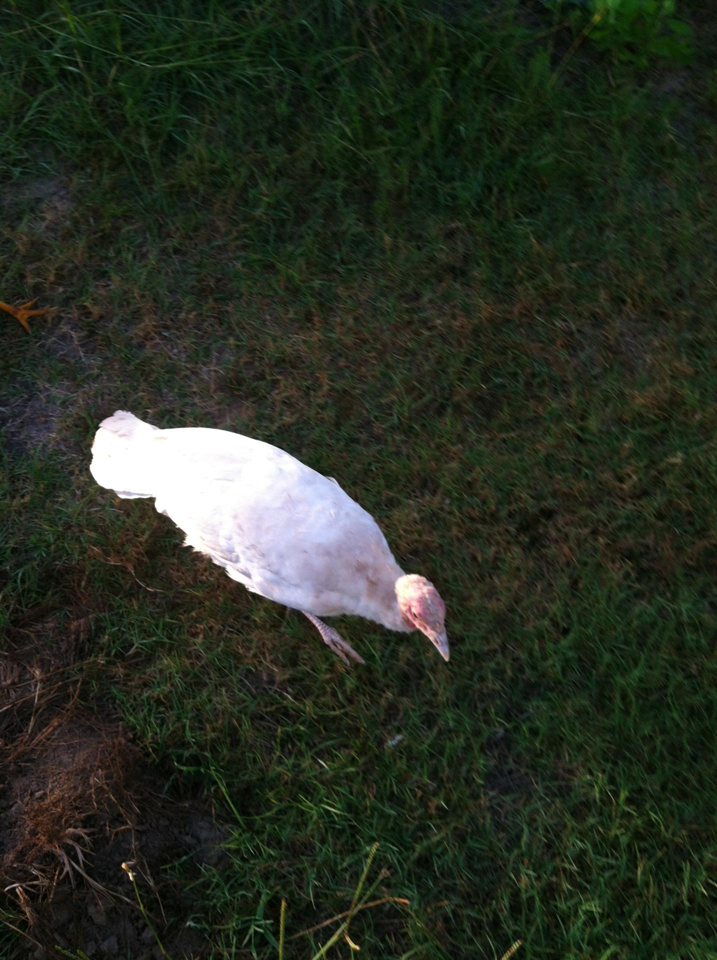 midget white turkeys,