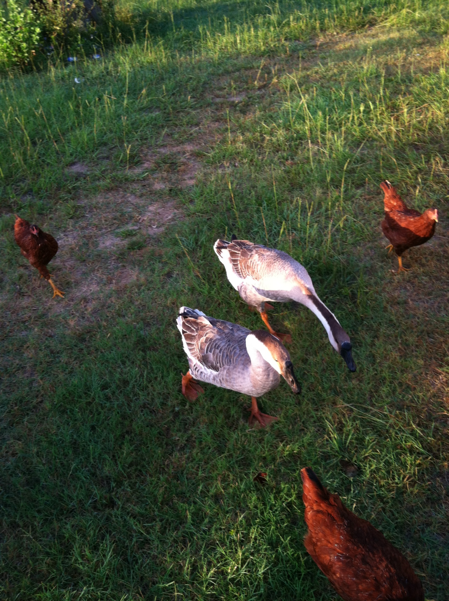 Non-agressive geese, african geese, homestead geese