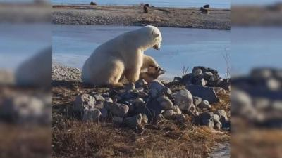 Viral Video Shows Polar Bear Petting Eskimo Dog in Canada