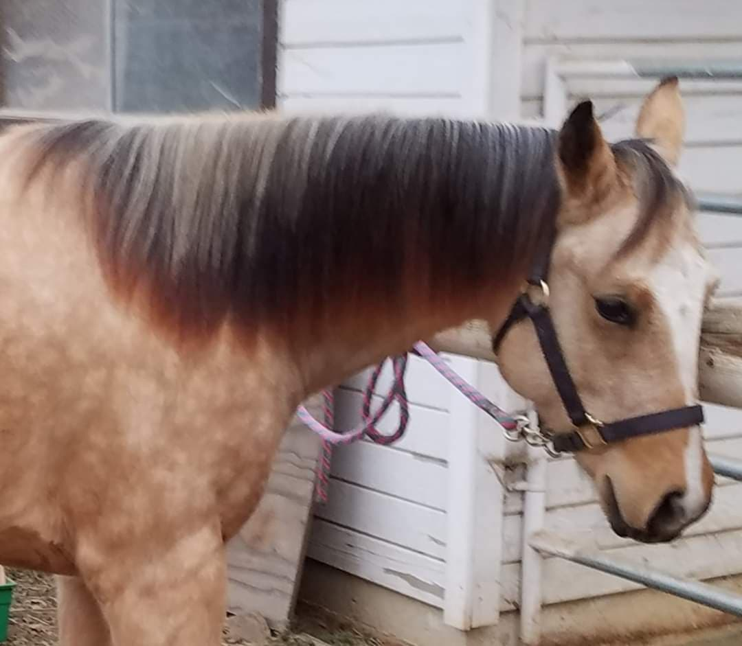 AQHA Etched N Hollywood ~ long yearling