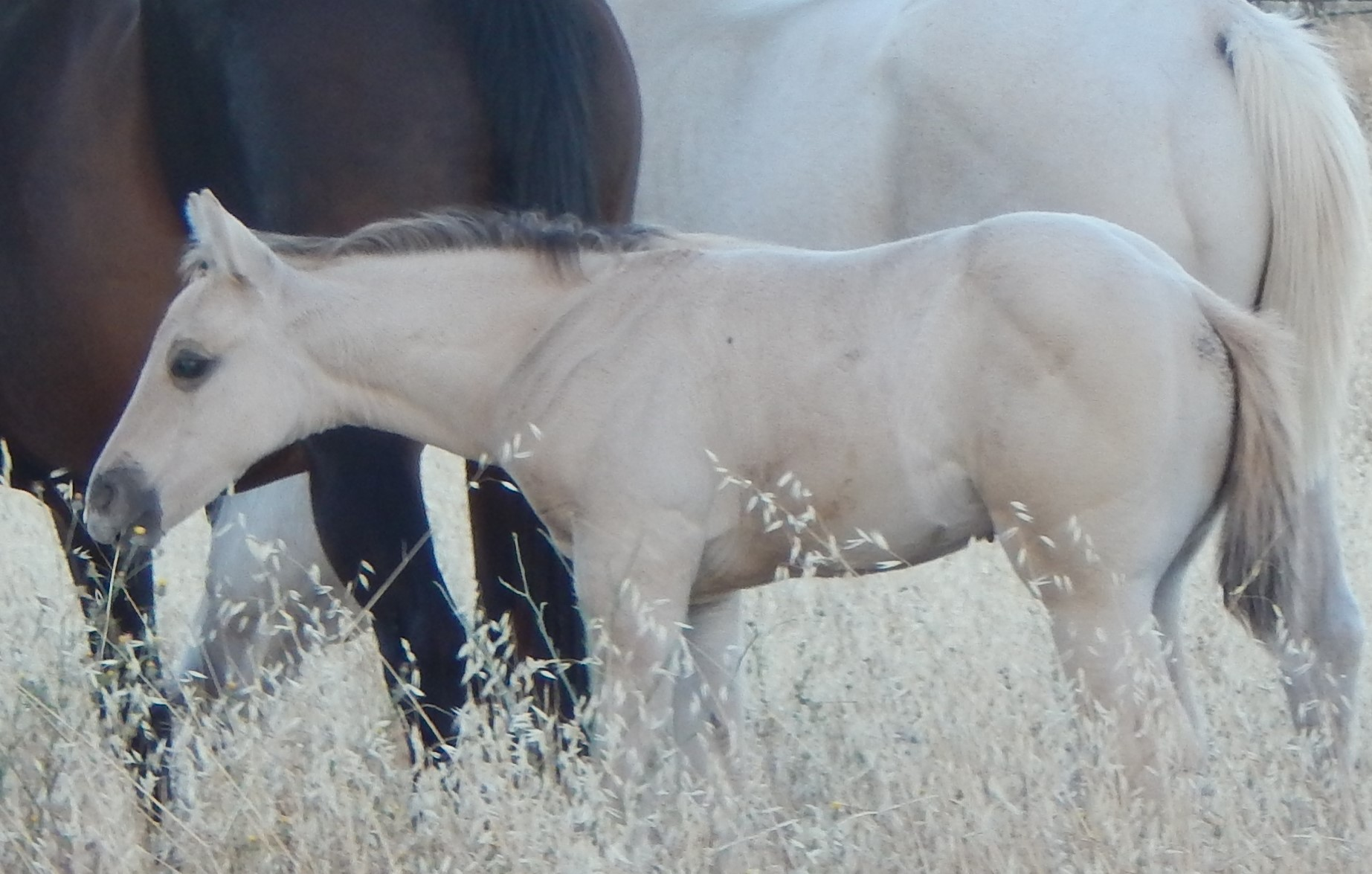 AQHA Dunskin Roan Filly