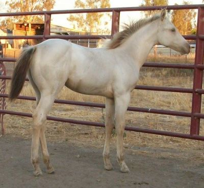 AQHA Brown Sugar Whiz