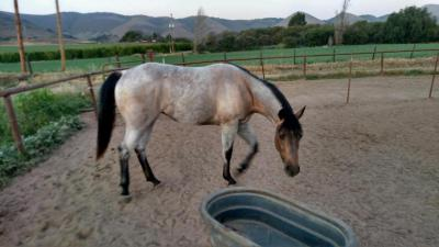AQHA Stone Cold Cougar ~ 2yrs old,