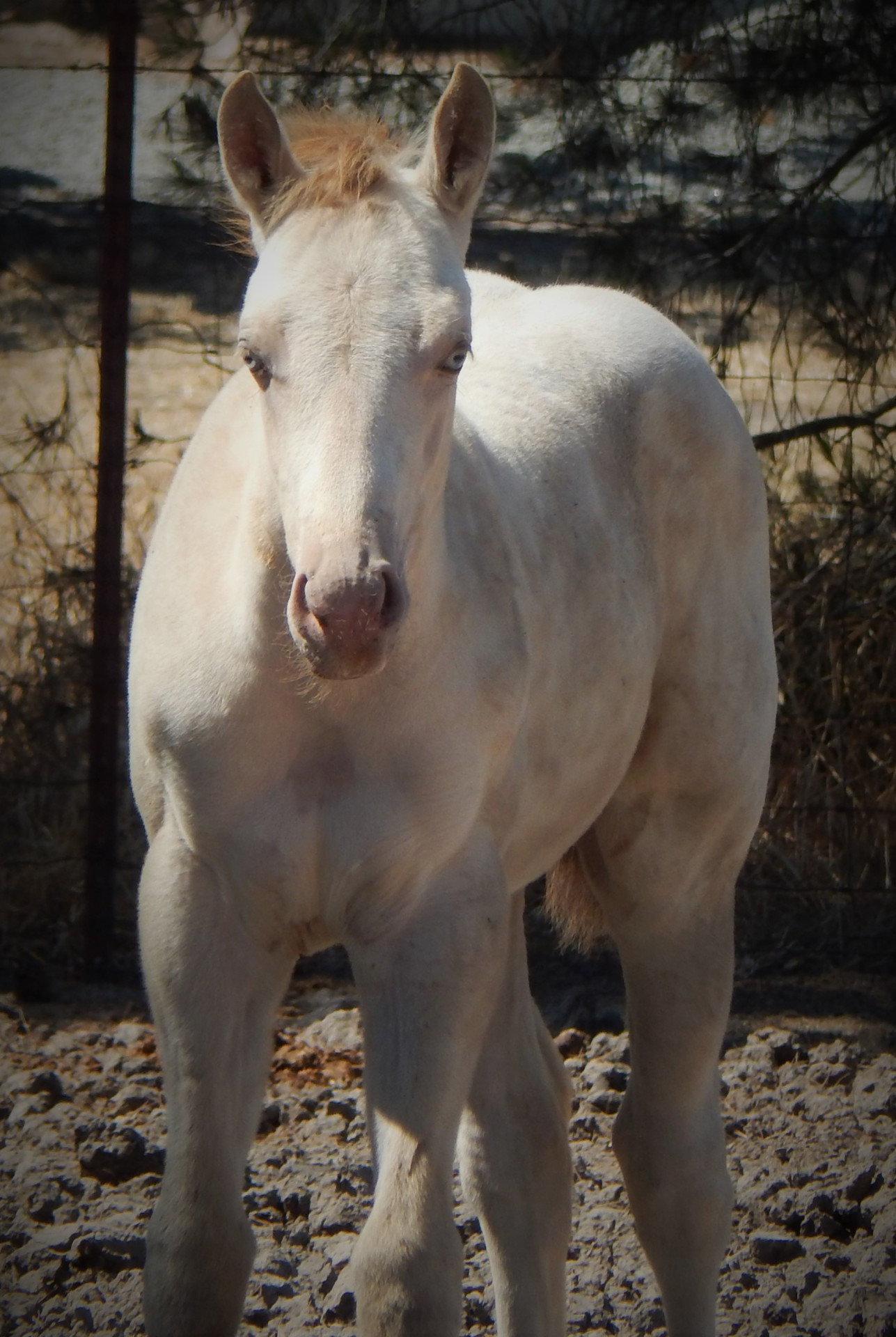 AQHA Rooster on the Rocks