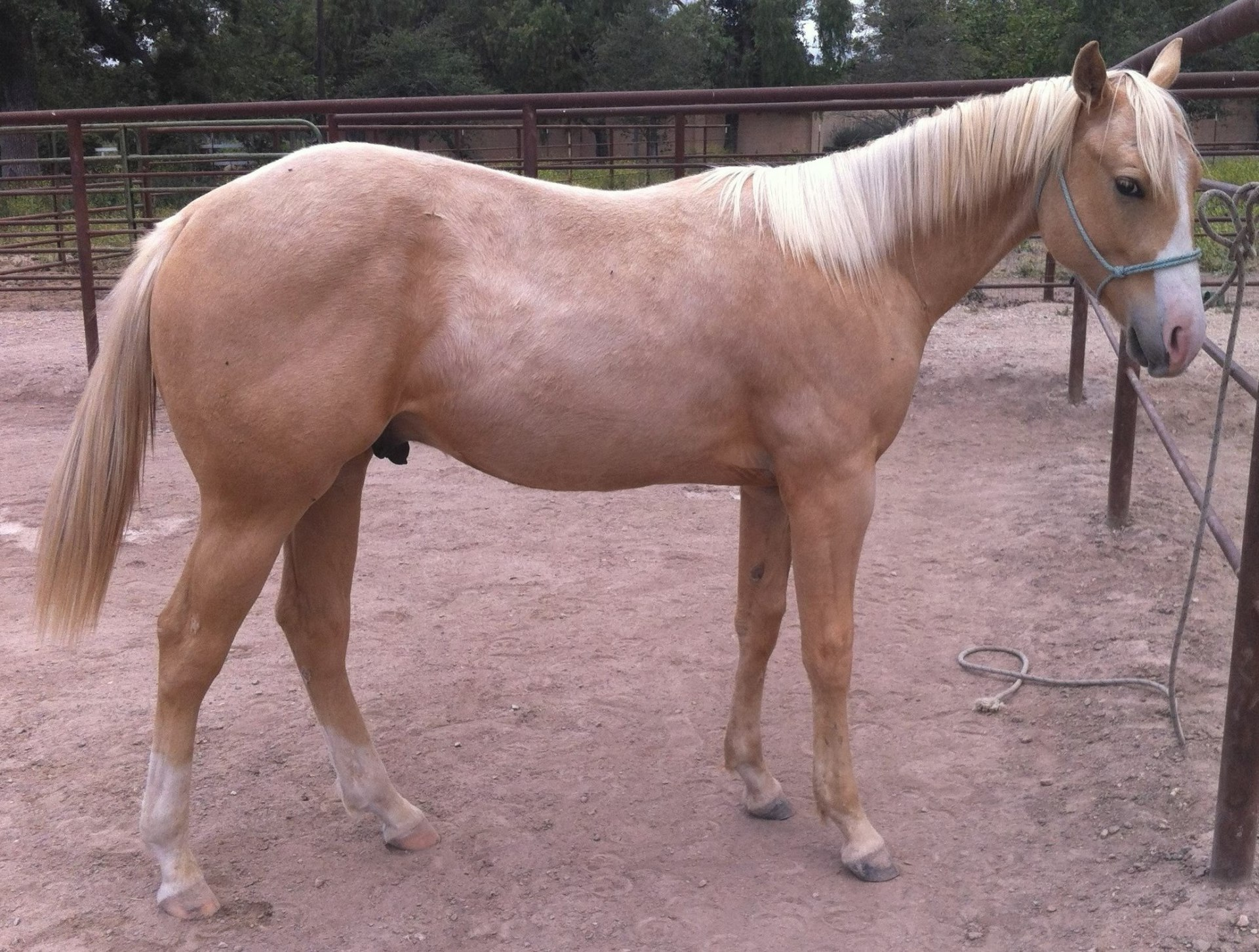 AQHA Dreams N Champagne ~ Yearling