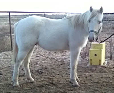 AQHA Winning Colorz ~ Long Yearling