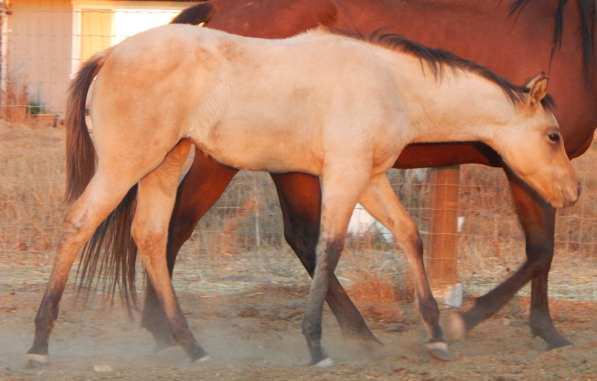 AQHA Gist Gun It