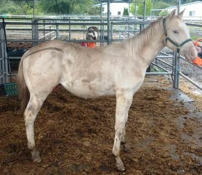 AQHA Dun N Sugar Hai (yearling)