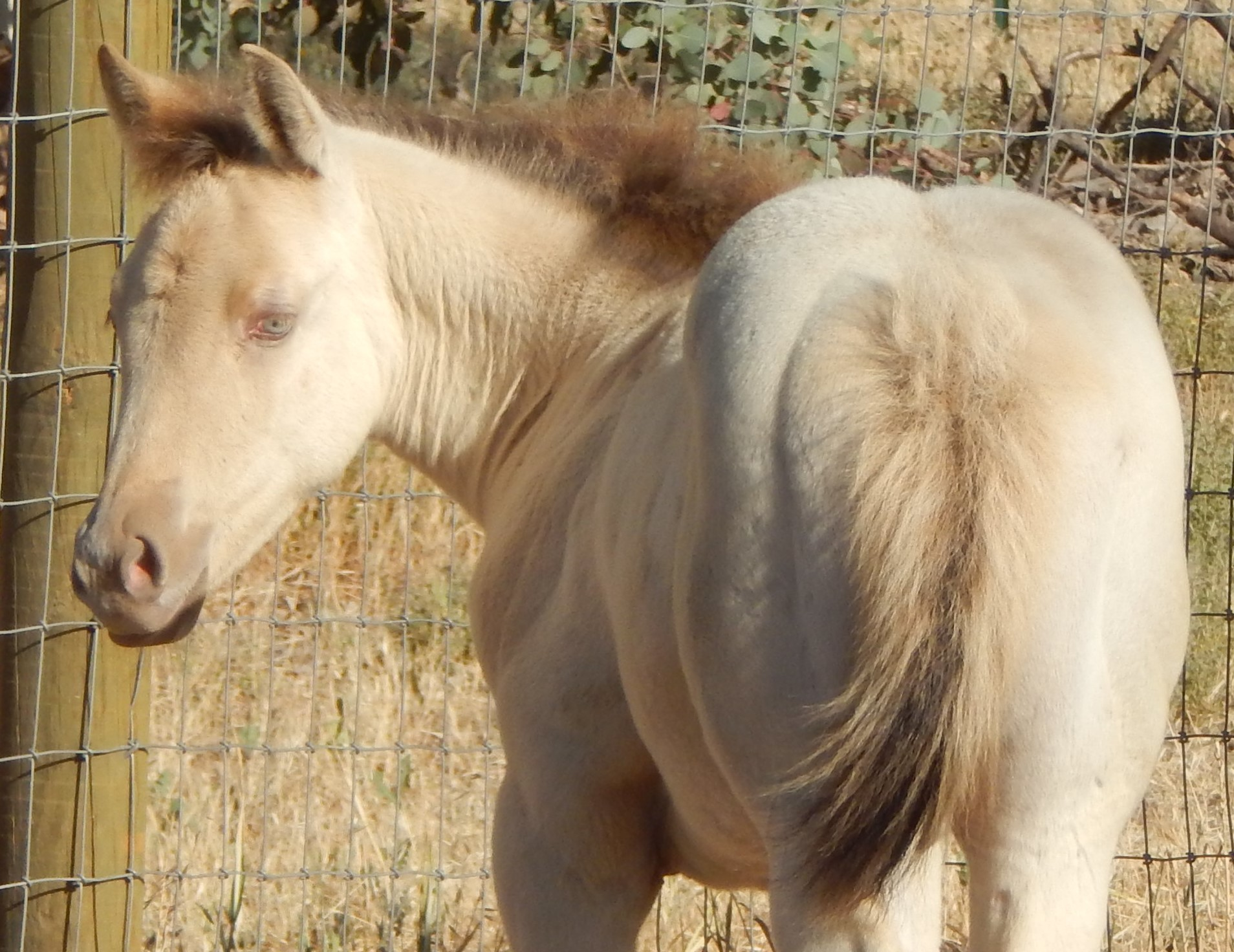 AQHA Frosty Frappuccino (pending)