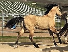 APHA Lucky Son of a Dun ~ coming 2yo