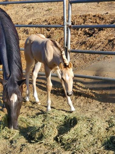Dunskin Roan? Filly