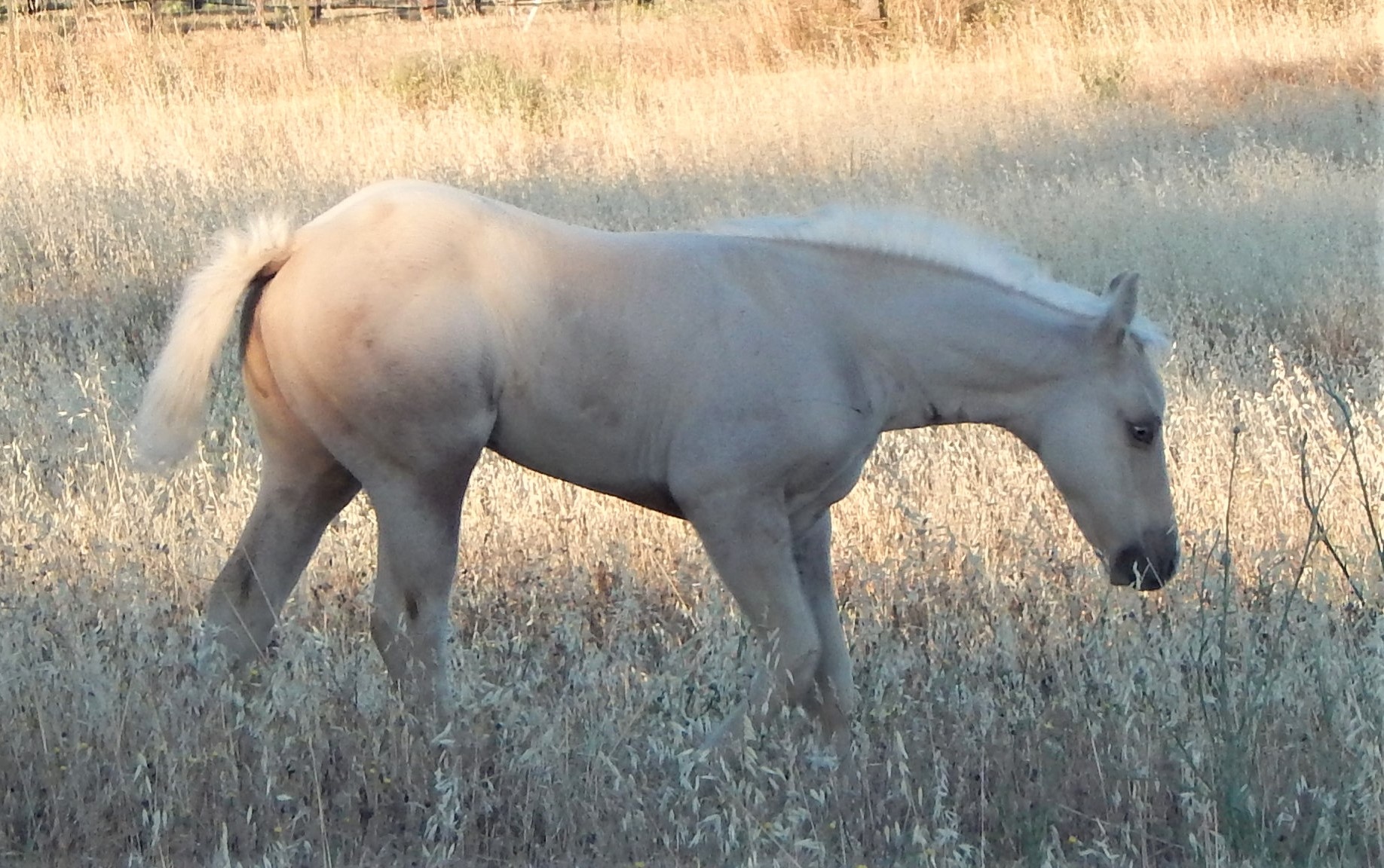 Grey Gold Cream Dun Filly
