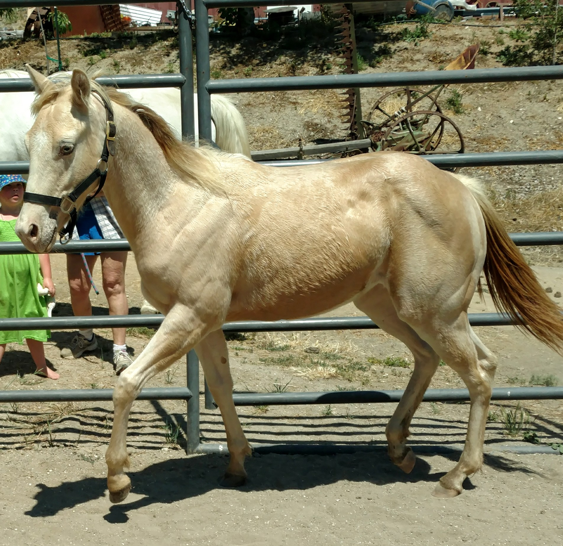 For Sale - AQHA StoneWashedWranglers ~ Yearling