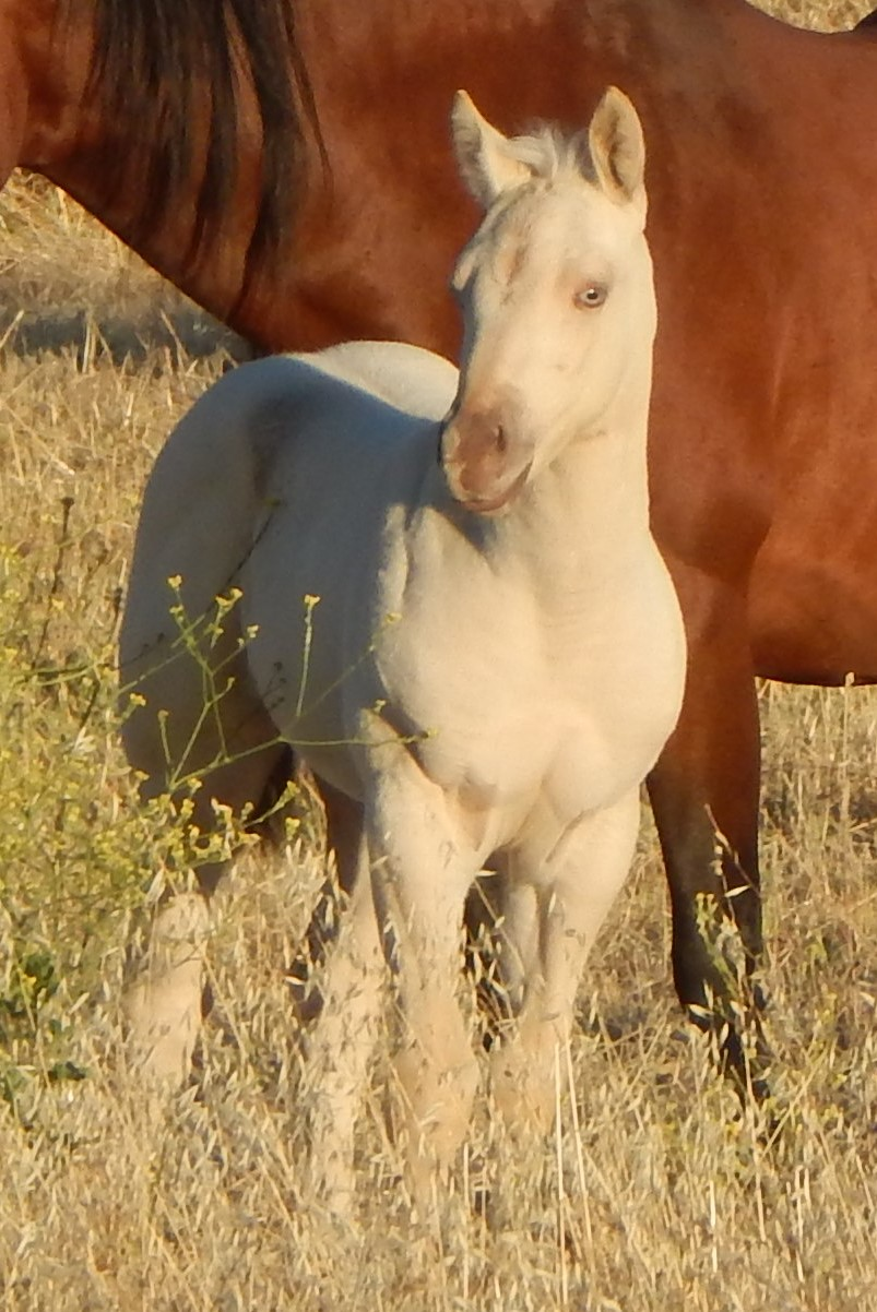 Amber Cream Dun Filly