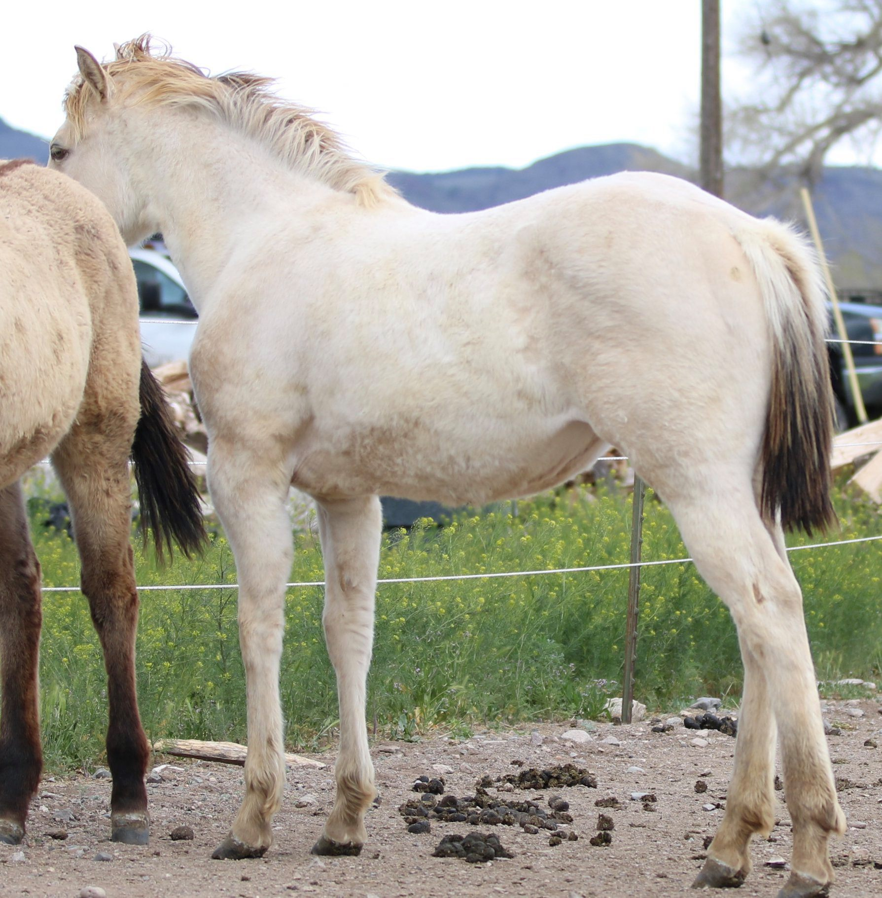 AQHA Frosty Frappuccino ~ yearling
