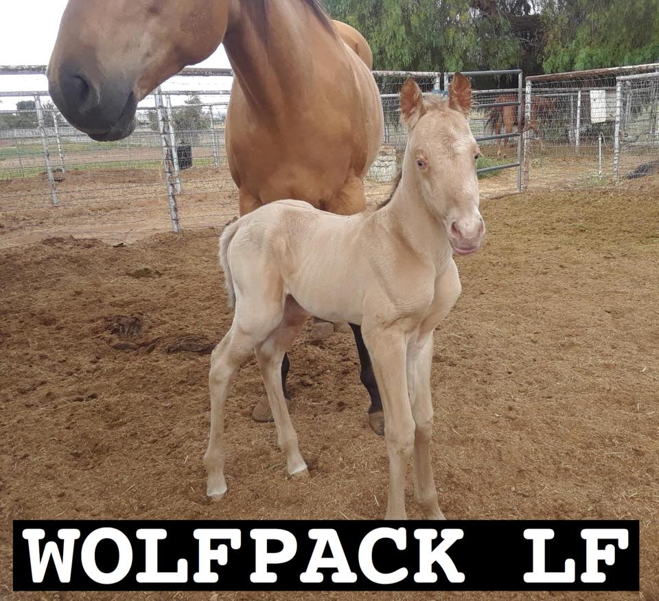 Amber Cream Dun? Roan? Filly