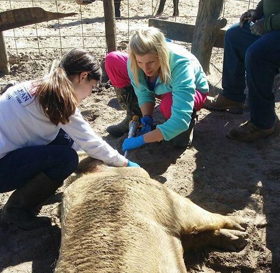 Filing Tusks at a Pig Farm