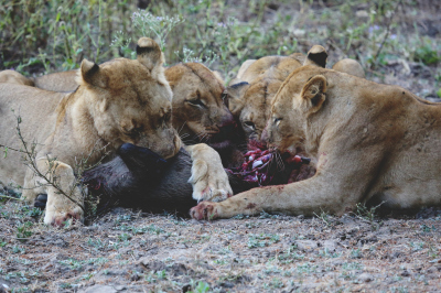 LIONS DEMOLISHING A WARTHOG WHAT