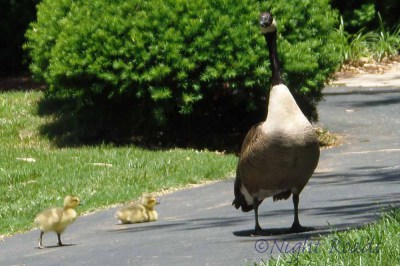 2013_geese 002
