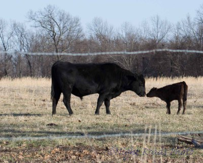MO_14_cattle 014