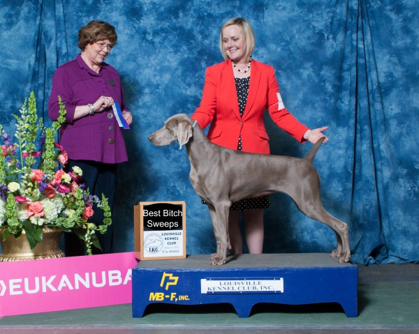 puppies Champion weimaraners