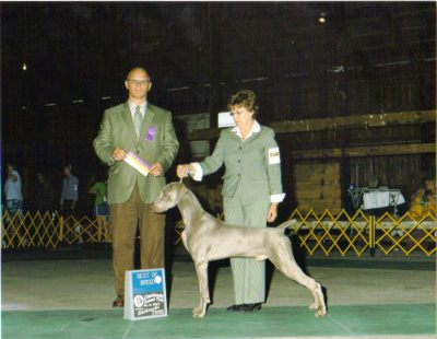 Champion weimaraner puppies
