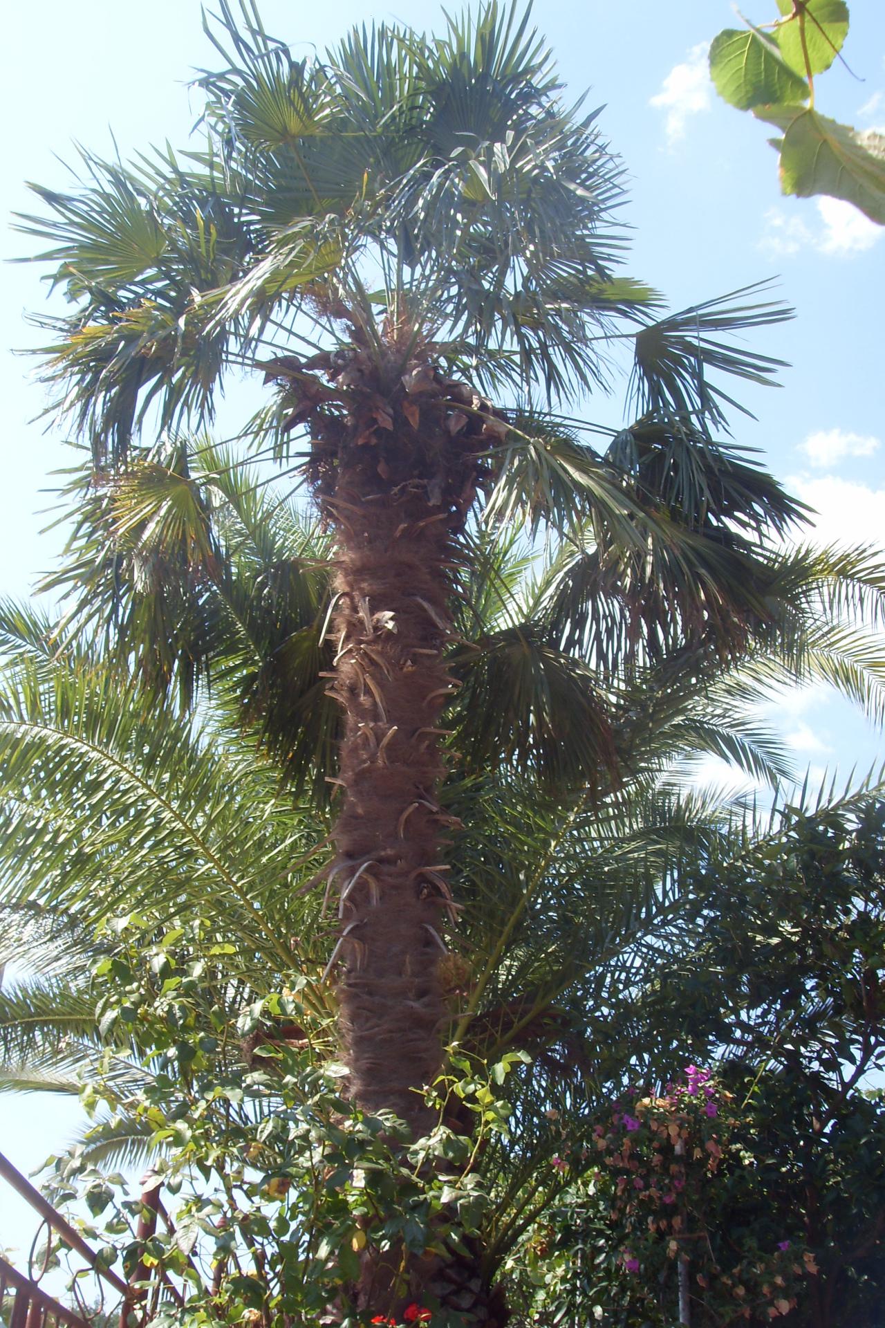 Palma tzv. Kineska vetrenjača (Trachycarpus fortuneii)