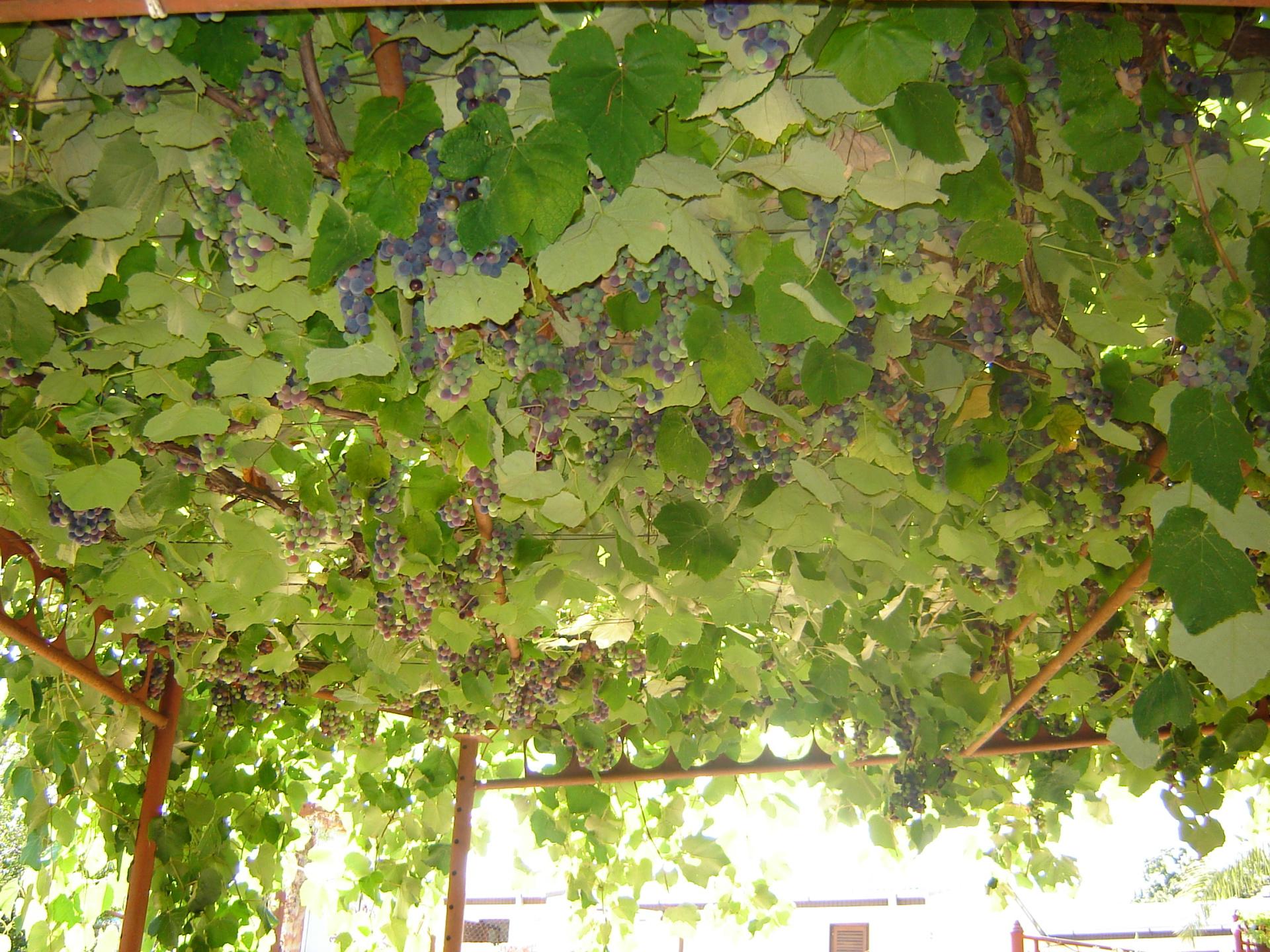 Odrina od vinove loze