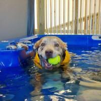 dog swimming aquatic rehabilitation