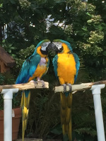 Ruffled Feathers Sanctuary Blue and Gold Macaws