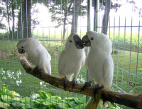 Ruffled Feathers Sanctuary Cockatoo Rescued Exotic Bird