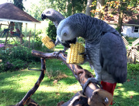 Ruffled Feathers Parrot Rescue Sanctuary African gray grey