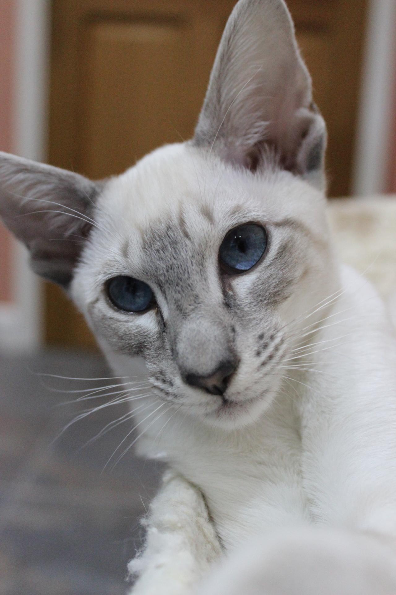Mrs Layla {Blue Tabby}