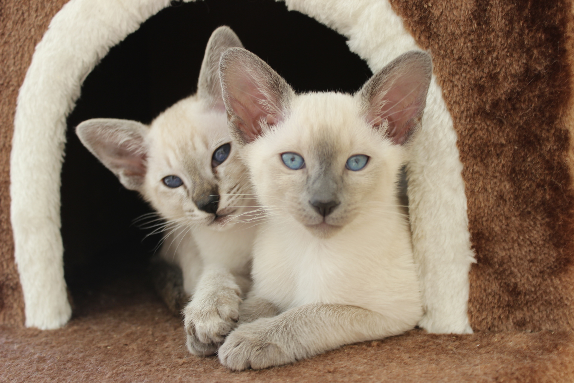 Blue & Choc tabby