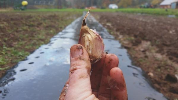 fall garlic planting